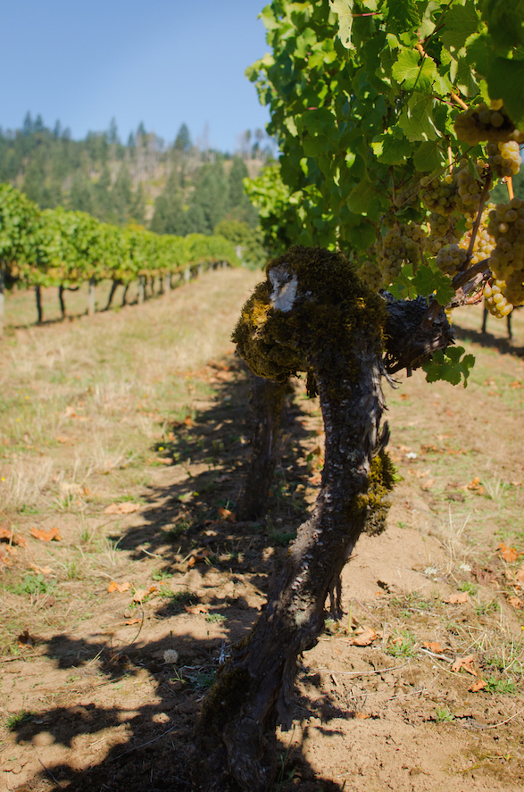 'Golden Cluster' Semillon vines. (Photo credit: Stephanie Sprinkle, E&R Wine Shop)